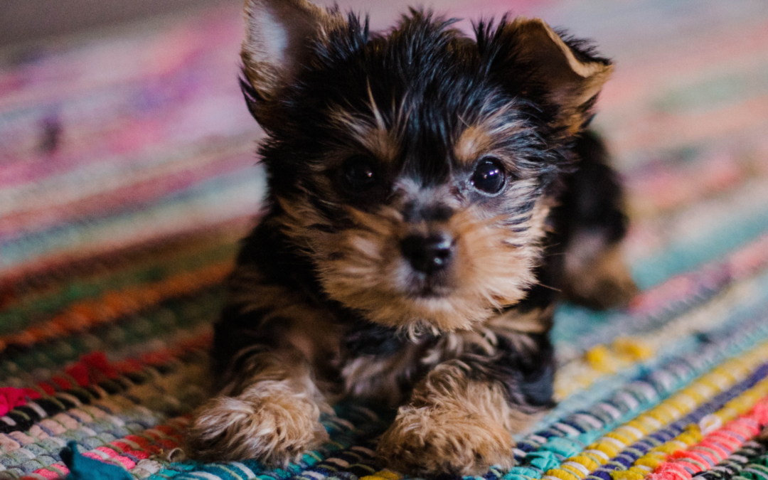 Bringing a Puppy Home – How to Prepare