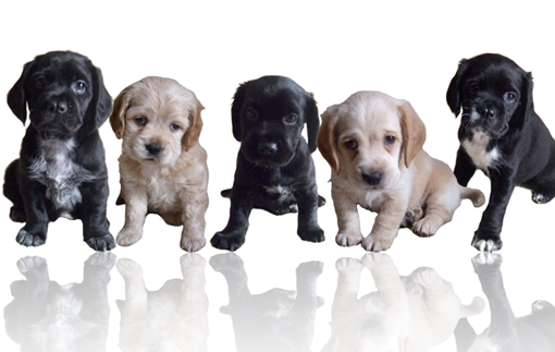 Choosing the Right Breed of Puppy for Your Family