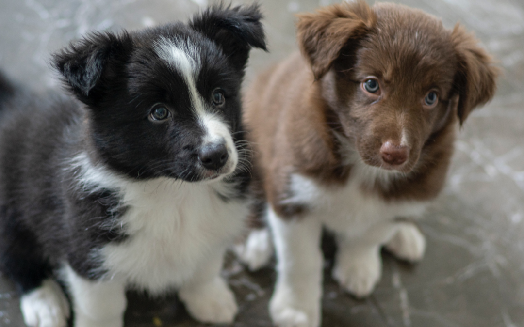 Why You Should Always Research a Breeder: Man Sells Neighbor's Dog